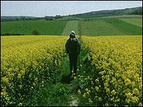 Rambler in a Rape Crop field