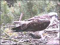 First osprey chick