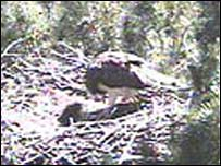 Adult osprey appears to feed a chick