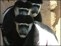 Colobus monkeys come from Mount Kilimanjaro