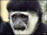 Colobus monkey