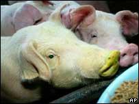 Cerdos transgénicos
