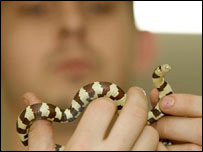The South American Kingsnake