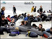 Volunteers desperately try to save over 100 false killer whales beached at Dolphin Bay near Busselton, 230 km south of Perth, 02 June 2005.