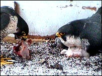 Peregrine Falcons and babies