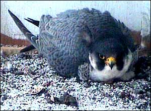 One of the Peregrine Falcons sits on the chicks to keep them warm