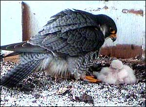 A Peregrine Falcons and the chicks