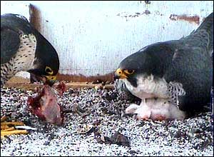 One of the falcons arrives with food