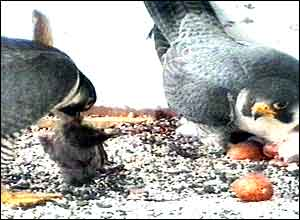 The Peregrine Falcons feed the chicks