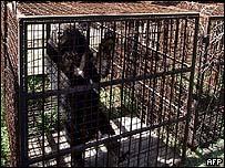 Moon-crested bear in a cage at a bear farm