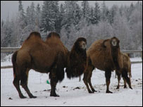 Camels at Norwegian animal park