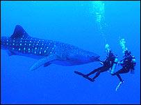 Whale shark.  Image: Rachel T Graham