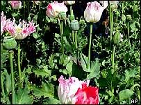 Opium poppies, Afghanistan, 19/04/2005