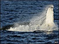Humpback fluke (AP)