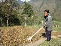 Nasa Indian coca farmer in the mountains of western Colombia