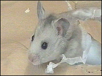 The hamster recreating his exit from the envelope
