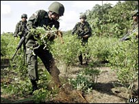 Soldiers pull up coca plants
