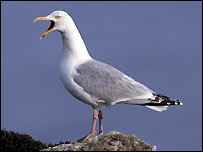 Herring gull - Chris Gomersall/rspb-images.com