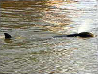 Pilot Whale in Thames