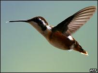 Hummingbird (AFP)