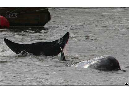 Whale bleeding