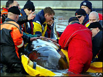 Rescuers put the whale in a sling
