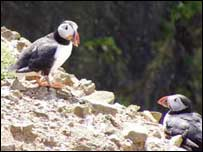 Puffins on Skomer Island. Photo: (DA Lewis)