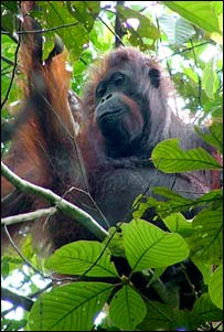 Orangutan in a tree (Jamil Sinyor KOCP)