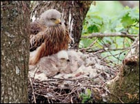 Red kite and chick