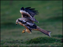 Red kite attack