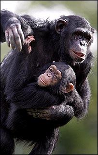 Chimpancé y su cría