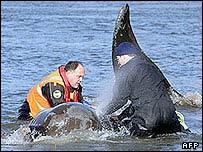 Equipo de rescate intenta devolver al mar la ballena.