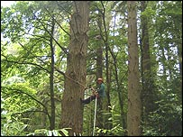 A tree surgeon using ropes to scale the tree