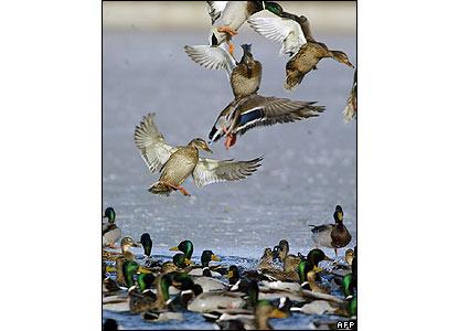 Wild ducks fly above a frozen lake in Bucharest, Romania