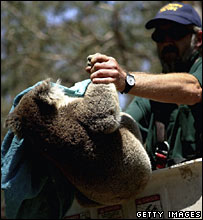 An animal worker rescues a koala from a region threatened by fire