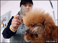 A poodle being trimmed at a pet beautician school in China's capital Beijing
