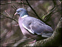 Wood pigeon (Picture courtesy of Tommy Holden/BTO)