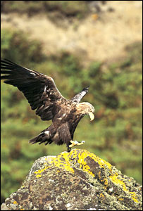 A white-tailed eagle - image courtesy of Andy Hay - rspb-images.com