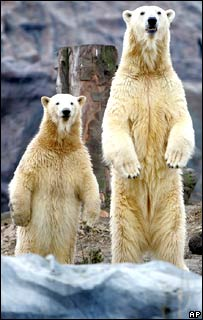 Polar bears in zoo.  Image: AP