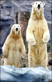 Polar bears in zoo.  Image: AP