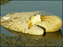 Bar-headed goose (Science)
