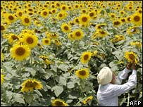 A farmer tending a field of sunflowers in India