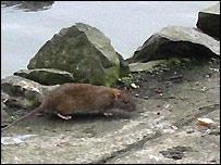 Rat at lakeside
