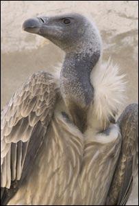 Vulture (RSPB Images)