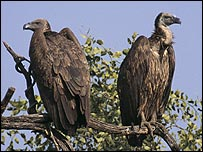 Vultures in a tree (RSPB Images/Guy Shorrock)