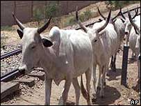 Cattle in Nigeria