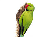 Ring-necked parakeet (RSPB)