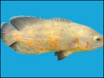 The astronotus ocellatus fish