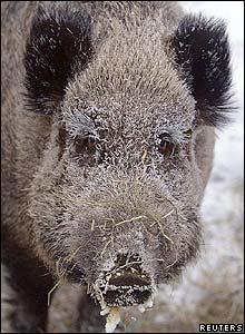 Wild boar in Krasnoyarsk, Siberia