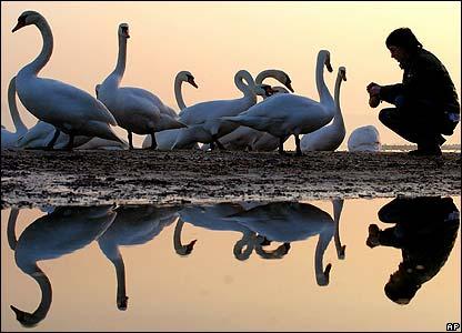 Feeding swans in Bulgaria